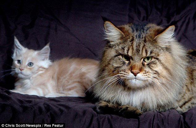 самый большой кот в мире 1 (634x415, 69Kb)