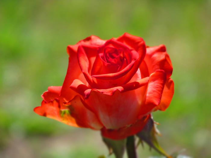 роза_005 (700x525, 326Kb)