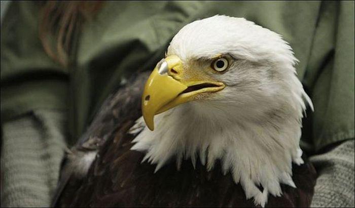 Eagle (700x411, 35Kb)