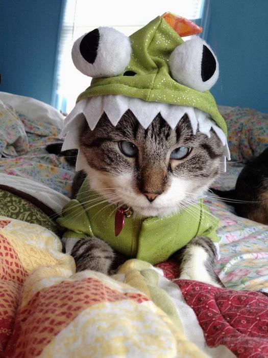 косоглазый кот фото (525x700, 132Kb)