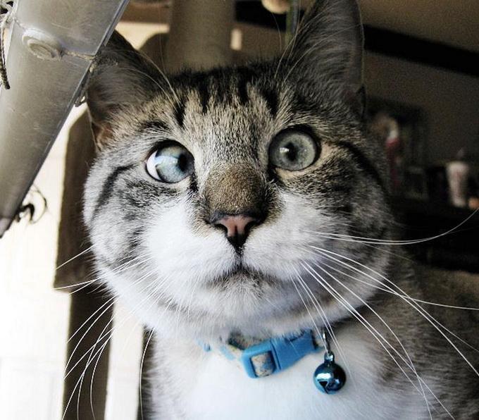 косоглазый кот фото 4 (680x596, 158Kb)