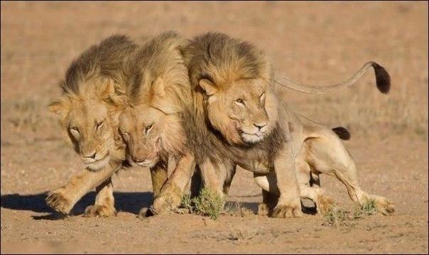 прикольные фото животных львы 1 (604x359, 46Kb)