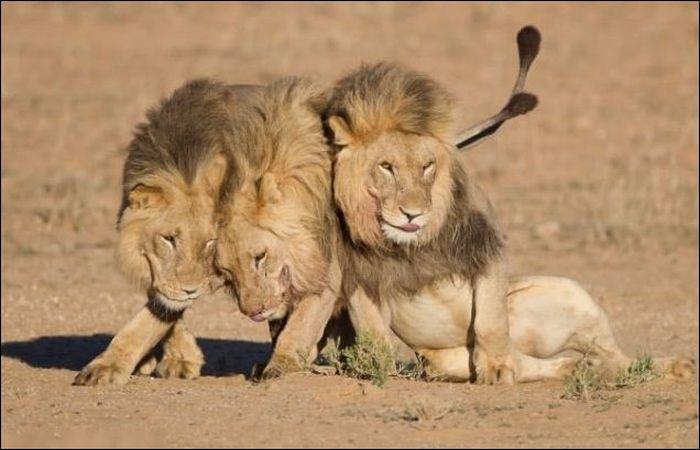 прикольные фото животных львы 3 (700x450, 46Kb)