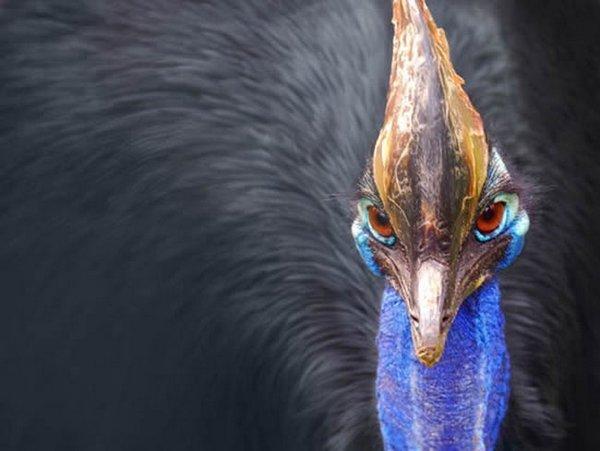 Самая смертельно опасная птица в мире казуар Фотографии