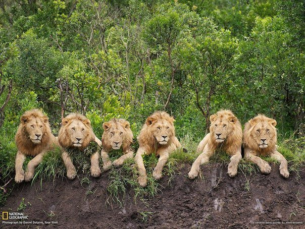 Львы на отдыхе, Танзания (604x454, 115Kb)