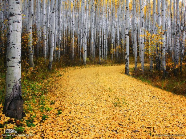 Осиновая роща в Колорадо (604x453, 111Kb)