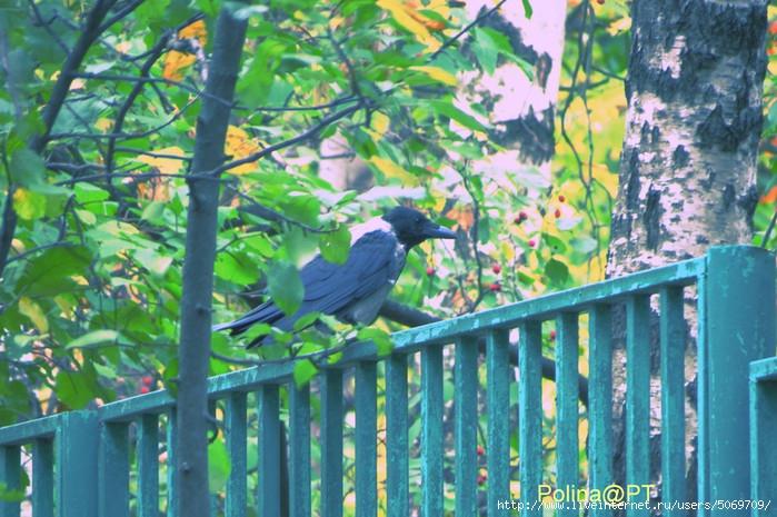 Ворона норм (700x465, 280Kb)