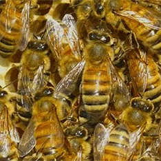 Пчёлы 3 (234x234, 113Kb)