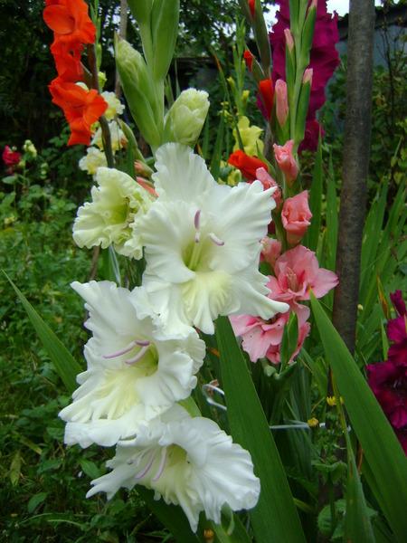 belyjj_gladiolus_vperedi_09 (450x600, 103Kb)