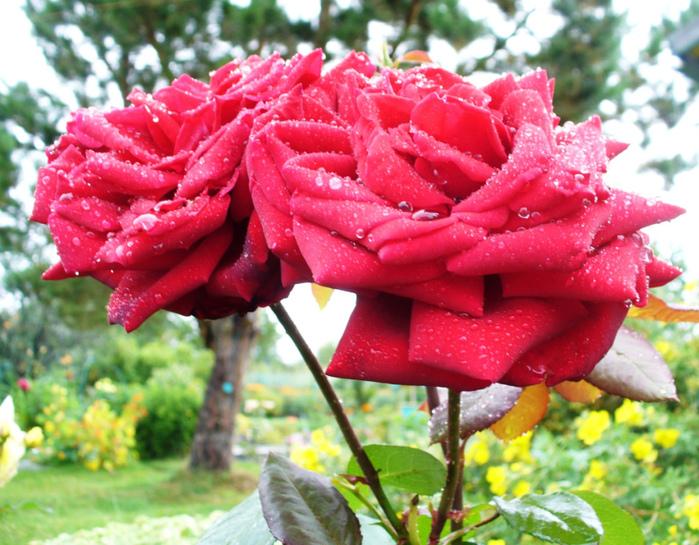 Розы красота)) (699x545, 250Kb)