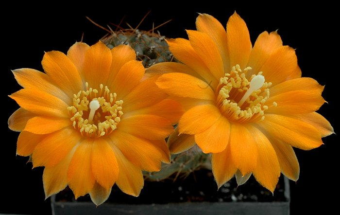 """Предлагаемая фотоподборка -  """"Цветущие кактусы """" работы Клауса Никеля.  Эволюции кактусов немного-немало 30—40 млн лет..."""