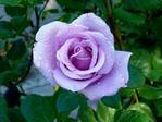голубая  роза (149x112, 8Kb)
