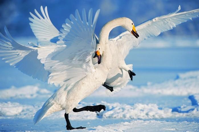 лебедь1 (700x465, 68Kb)