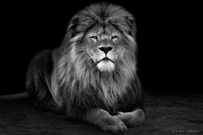 Черно белые фото животных wolf ademeit 1
