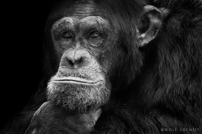черно белые фото животных Wolf Ademeit 3 (670x446, 136Kb)
