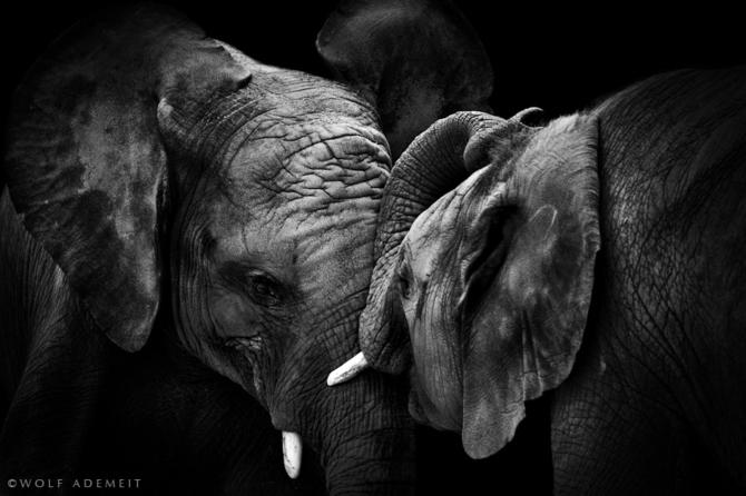 черно белые фото животных Wolf Ademeit 9 (670x446, 133Kb)