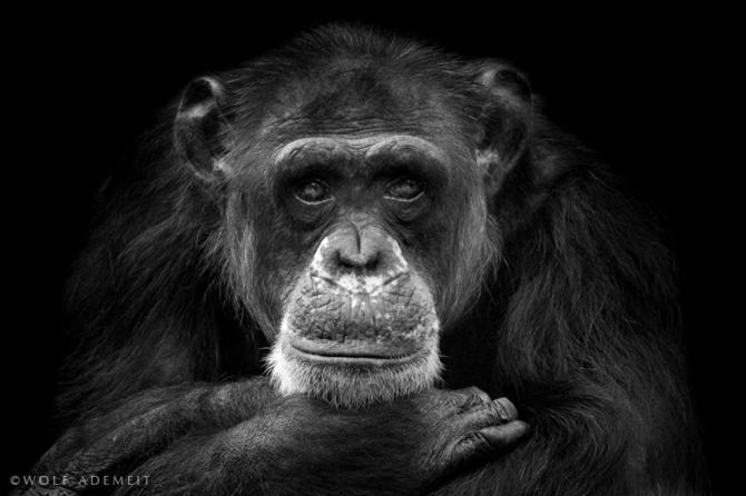 черно белые фото животных Wolf Ademeit 13 (670x446, 110Kb)
