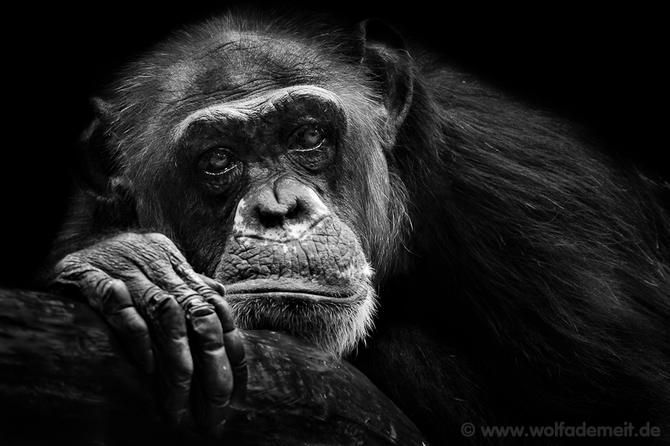 черно белые фото животных Wolf Ademeit 17 (670x446, 133Kb)