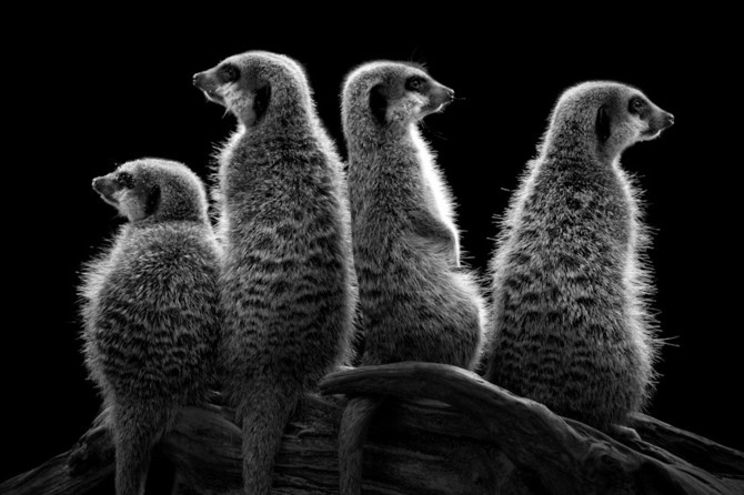 черно белые фото животных Wolf Ademeit 19 (670x446, 69Kb)
