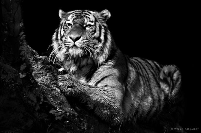 черно белые фото животных Wolf Ademeit 21 (670x446, 118Kb)