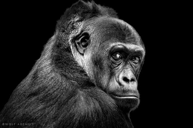 черно белые фото животных Wolf Ademeit 23 (670x446, 111Kb)