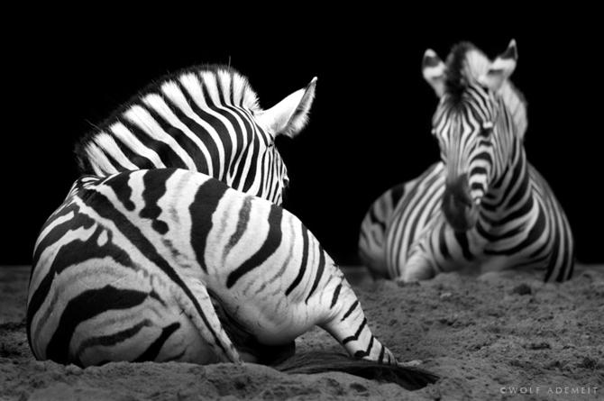 черно белые фото животных Wolf Ademeit 25 (670x445, 111Kb)