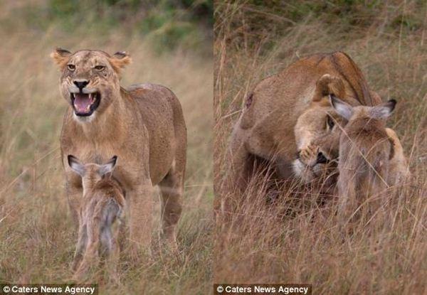 lioness9 (600x415, 46Kb)