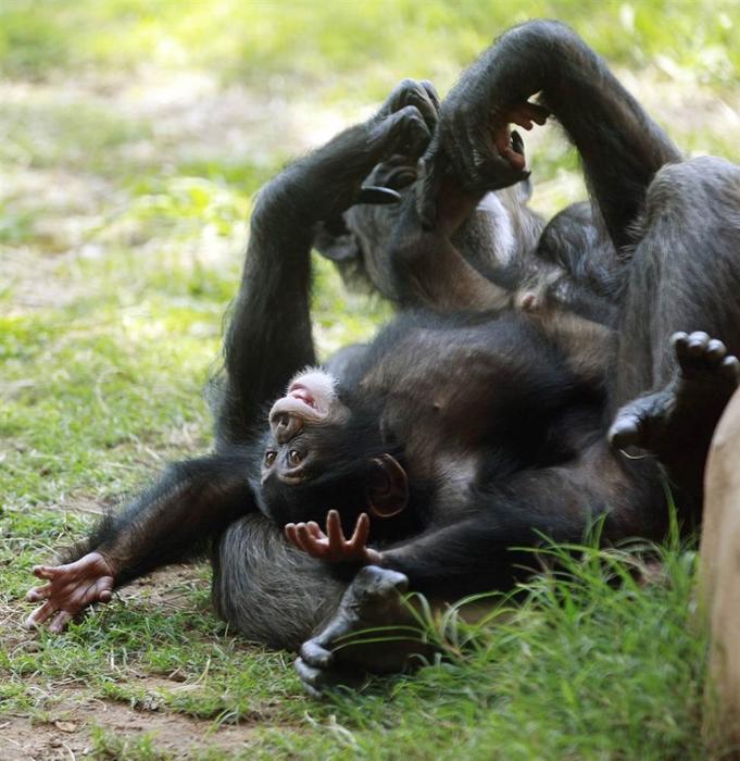 Шимпанзе по имени Рубен играет