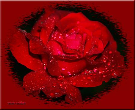Роза-в-росе (450x368, 203Kb)