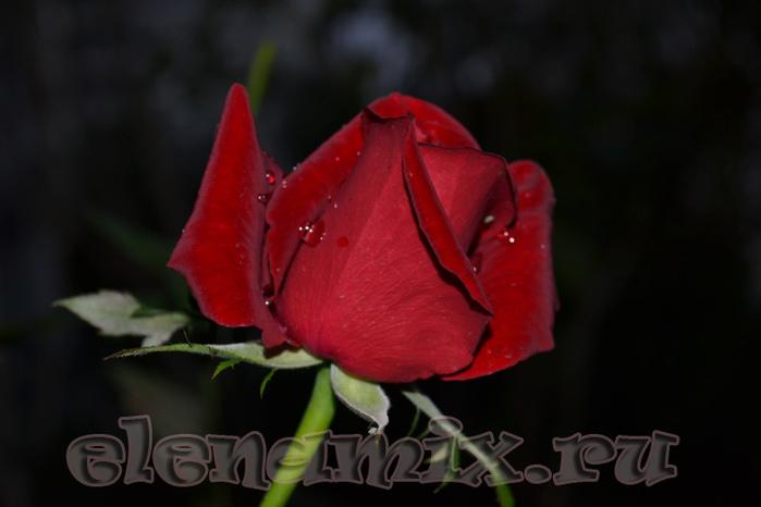 розы/4348076_rozi (700x466, 80Kb)
