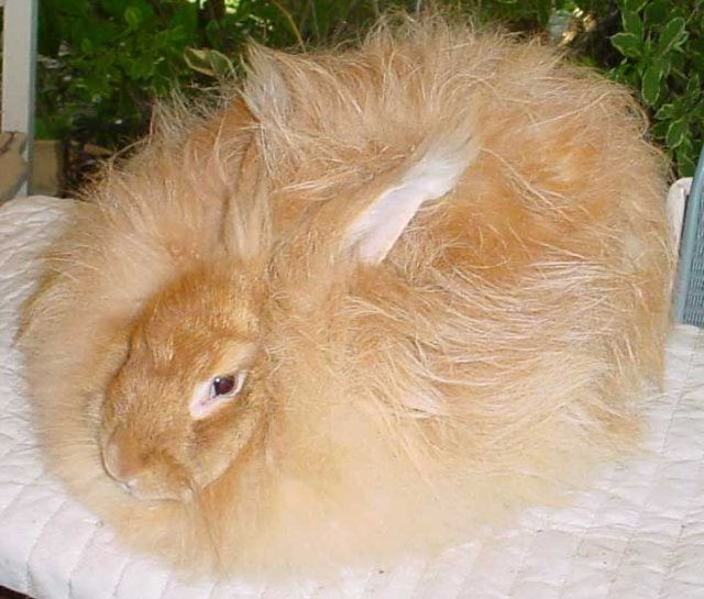 ангорские кролики фото 1 (640x545, 65Kb)