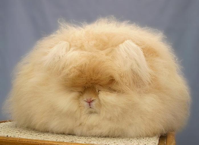 ангорские кролики фото 4 (700x510, 198Kb)