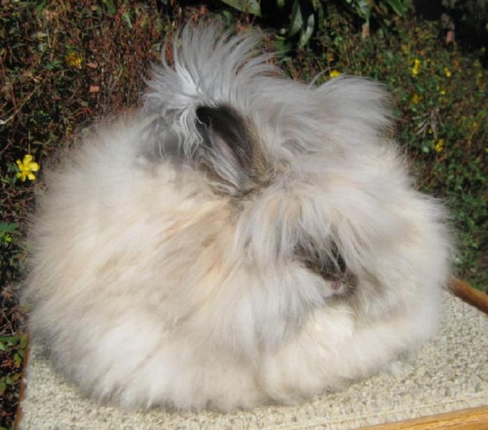ангорские кролики фото 9 (700x617, 278Kb)