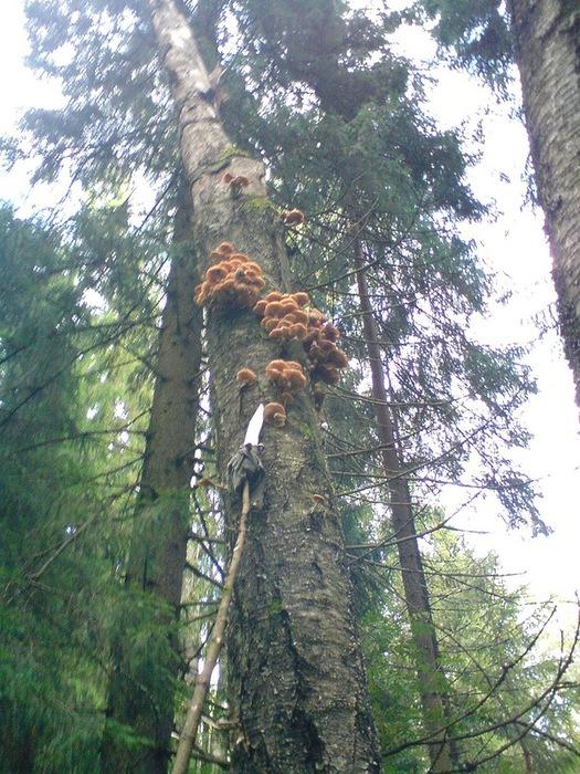 опята на дереве (525x700, 187Kb)