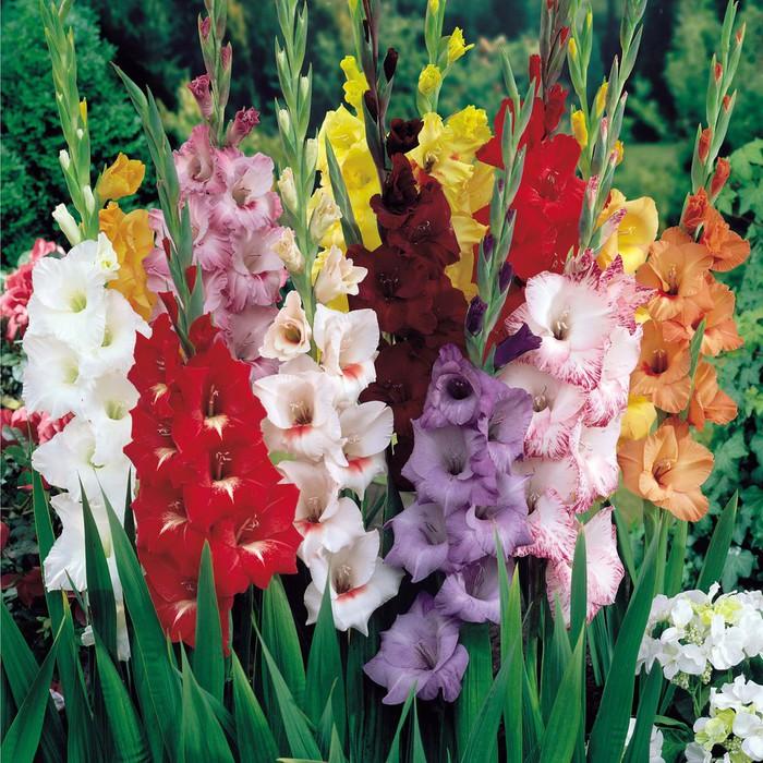 Картинки цветов гладиолус 1