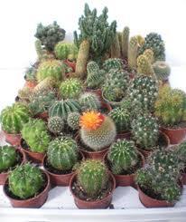 4721164_cacti (206x245, 10Kb)