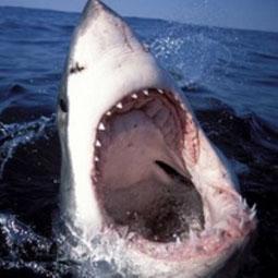 Акула (255x255, 35Kb)