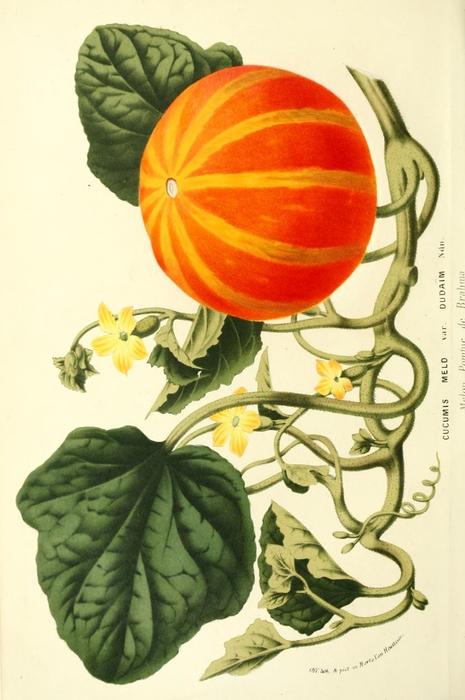 Botanical-Flore-des-Seres-et-Des-Jardins-de-LEurope-Pumpkin-Cucumis-melo (465x700, 218Kb)