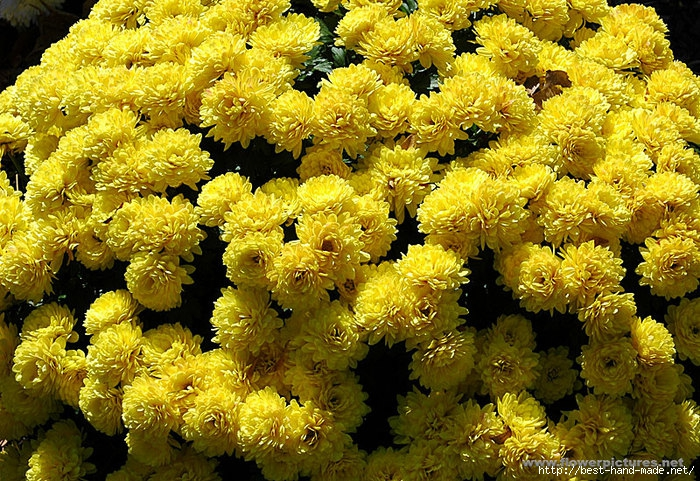 chrysanthemum-1 (700x481, 410Kb)