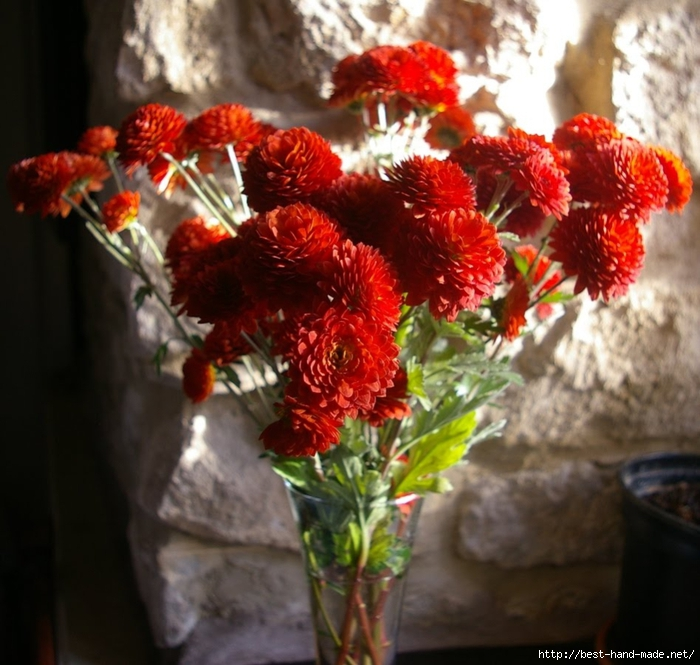 Chrysanthemum 'Lexy Red' (700x665, 309Kb)