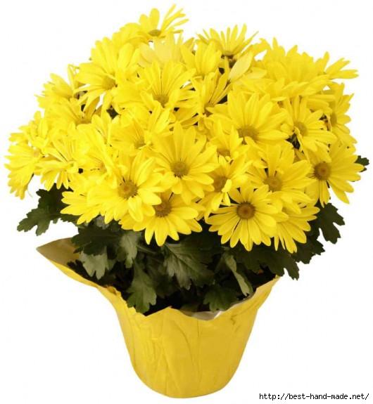 chrysanthemum-plant-530x575 (530x575, 135Kb)