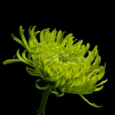 Green_Chrysanthemum_4_square (400x400, 81Kb)