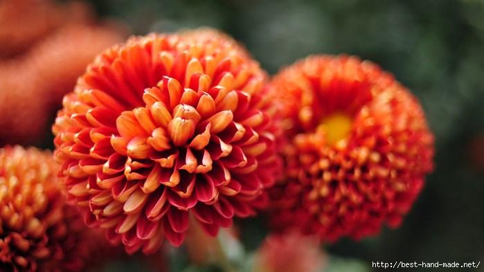 image-wallpaper-1366-768-Beautiful-Flowers-Chrysanthemum-Flowers-Ni745509 (1) (700x393, 129Kb)