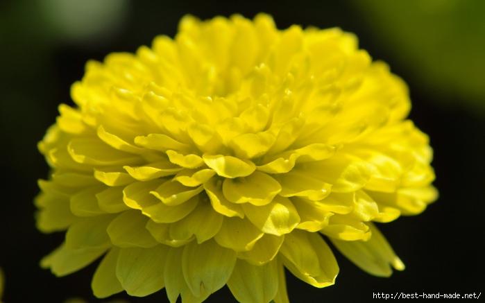 image-wallpaper-1680-1050-Beautiful-Flowers-Chrysanthemum-Flowers-pictures-Ni346283 (700x437, 178Kb)