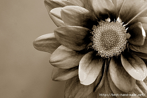 miscellaneous-2006-chrysanthemum-500x500 (500x333, 142Kb)