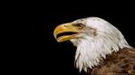 Превью Eagle (9) (700x388, 96Kb)