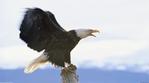 Превью Eagle (16) (700x388, 145Kb)