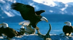 Превью Eagle (22) (700x388, 199Kb)