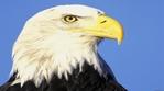 Превью Eagle (700x388, 179Kb)