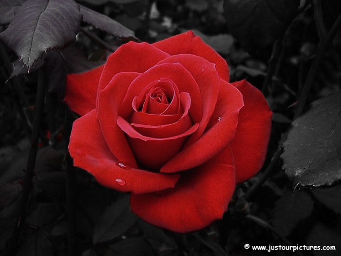 Красная роза фото 4171694 istoriya lubvi roza 700x525